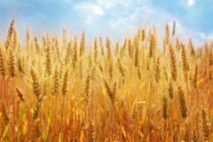 Zone de blé