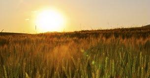 Zone de blé Photographie stock