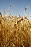 Zone de blé 3 Photos libres de droits