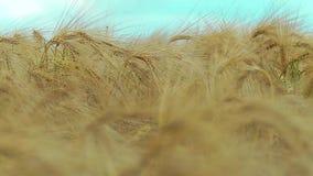 Zone de blé banque de vidéos