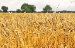 Zone de blé Photographie stock libre de droits