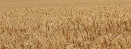 Zone de blé Image stock