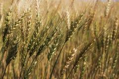 Zone de blé Images libres de droits