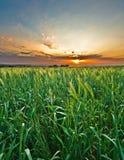 Zone de blé au coucher du soleil Photographie stock libre de droits