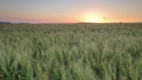 Zone de blé au coucher du soleil banque de vidéos
