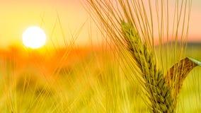 Zone de blé au coucher du soleil Images libres de droits