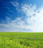 Zone de blé au-dessus de ciel bleu Images libres de droits