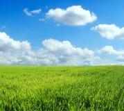 Zone de blé au-dessus de ciel bleu Photo libre de droits