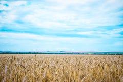 Zone de blé avec le ciel bleu à l'arrière-plan Images libres de droits