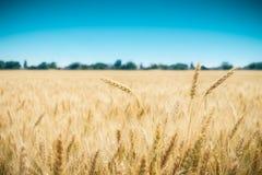 Zone de blé avec le ciel bleu à l'arrière-plan Photo libre de droits