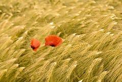 Zone de blé avec les pavots rouges Images libres de droits
