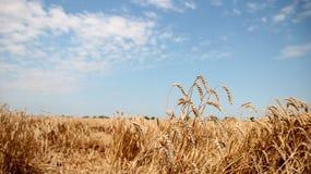 Zone de blé bien mûre Photographie stock libre de droits