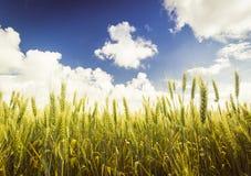 Zone de blé Couleurs de nature Bleu et jaune Photo libre de droits