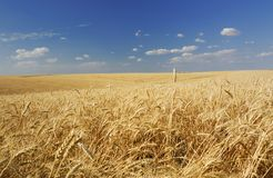 Zone de blé d'été Photo stock