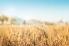 Zone de blé d'or Image libre de droits