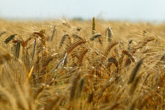 Zone de blé d'or Photos libres de droits
