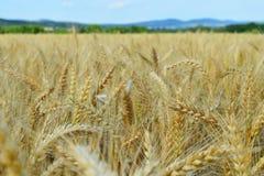 Zone de blé d'or Photos stock