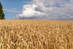 Zone de blé d'or Photo libre de droits