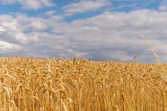 Zone de blé d'or Image stock