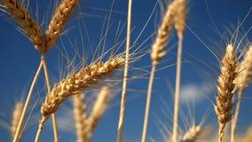 Zone de blé d'or avec le ciel bleu photo libre de droits