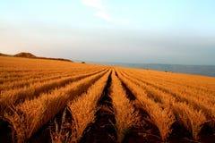 Zone de blé dans le coucher du soleil photos stock