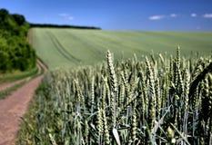 Zone de blé en été Photographie stock libre de droits