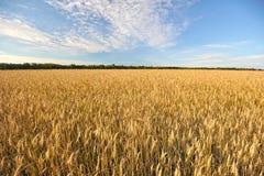 Zone de blé en été Photos stock
