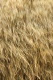 Zone de blé en Toscane, Italie. Image stock