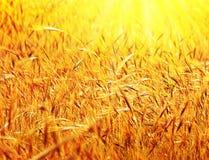 Zone de blé ensoleillée Photographie stock