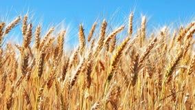 Zone de blé et ciel bleu banque de vidéos
