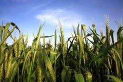 Zone de blé et ciel bleu Photos libres de droits