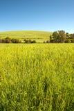 Zone de blé et ciel bleu d'espace libre Photographie stock