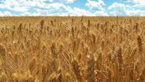 Zone de blé et de ciel bleu banque de vidéos
