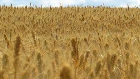 Zone de blé et de ciel bleu Long foyer banque de vidéos