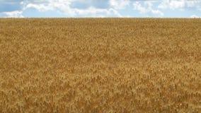 Zone de blé et de ciel bleu orientation vers des numéros inférieurs et moyens banque de vidéos