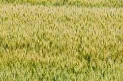 Zone de blé jaune Images stock