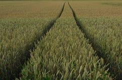 Zone de blé mûre Image stock