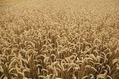Zone de blé mûre Texture de fond photos stock