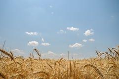 Zone de blé mûr Image stock
