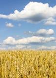Zone de blé mûr photographie stock libre de droits