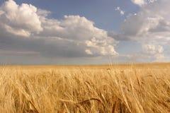 Zone de blé mûre image libre de droits