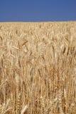 Zone de blé mûre Photo libre de droits