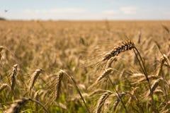 Zone de blé Oreilles de fin d'or de blé  Beau paysage de coucher du soleil de nature Paysage rural sous la lumière du soleil bril image libre de droits