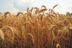 Zone de blé Oreilles de fin d'or de blé  Beau paysage de coucher du soleil de nature Paysage rural sous la lumière du soleil bril Photographie stock