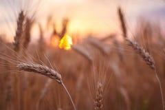 Zone de blé Oreilles de fin d'or de blé  Beau paysage de coucher du soleil de nature Paysage rural sous la lumière du soleil bril photos libres de droits