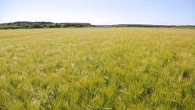 Zone de blé un jour ensoleillé Épillets d'or congelés par temps calme Grande moisson banque de vidéos