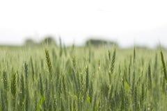Zone de blé vert Image stock