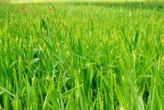 Zone de blé verte à la source Photographie stock
