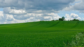Zone de blé verte Photo libre de droits