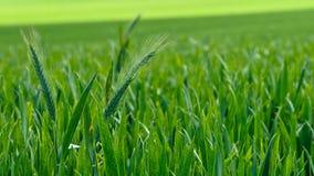 Zone de blé verte Image libre de droits